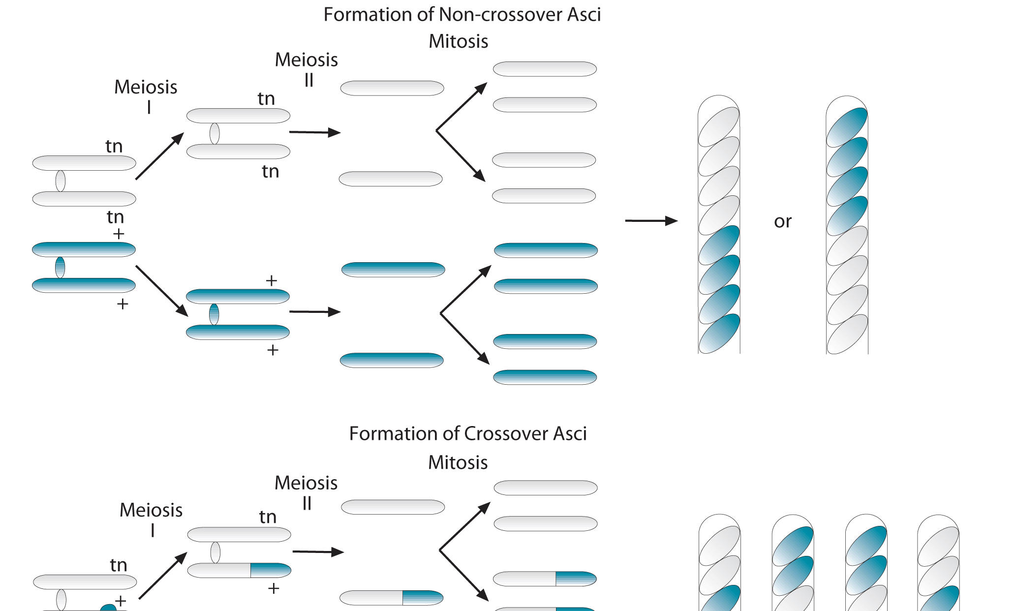 gene mapping in ascospore sordaria cultures Mapping the distance between the tan gene  sordaria is a common fungus for genetics research  cultures of sordaria fimicola were obtained and while.